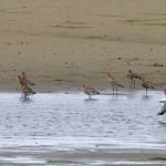 Black tailed Godwit Findhorn Bay 4 July 2014 Richard Somers Cocks 1