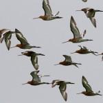 Black tailed Godwit Findhorn Bay 4 July 2014 Richard Somers Cocks 2