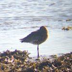 Black tailed Godwit Lossie estuary 21 Apr 2018 Bob Proctor 2