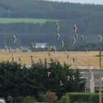 Black tailed Godwits Cloddach quarry 27 Sept 2014 Martin Cook 1P