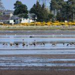 Black tailed Godwits Findhorn Bay 22 Apr 2017 Gordon McMullins 1