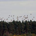 Black tailed Godwits Findhorn Bay 23 Apr 2017 Gordon McMullins