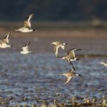 Black tailed Godwits Findhorn Bay 25 Oct 2017 Richard Somers Cocks P
