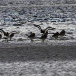 Black tailed Godwits Findhorn Bay 26 Oct 2017 Gordon McMullins