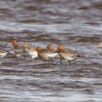 Black tailed Godwits Findhorn Bay 4 May 2015 Richard Somers Cocks