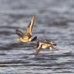 Black tailed Godwits Findhorn Bay 5 Dec 2012 Richard Somers Cocks