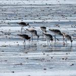 Black tailed Godwits Findhorn Bay 5 May 2018 Gordon McMullins