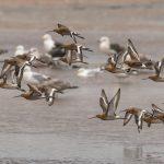 Black tailed Godwits Lossie estuary 18 Aug 2017 David Main 1 P