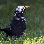 Blackbird Fochabers 20 Apr 2018 Nick Mellor