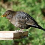 Blackbird Forres 11 Feb 2017 Allan Lawrence