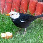 Blackbird Forres 5 Jun 2017 Alison Ritchie P
