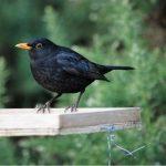 Blackbird Forres 8 Mar 2017 Allan Lawrence