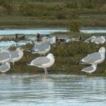 Bonapartes Gull Lossie estuary 4 Oct 2015 Duncan Gibson 1
