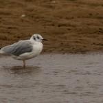 Bonapartes Gull Lossie estuary 6 Oct 2015 David Main