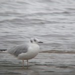 Bonapartes Gull Lossie estuary 6 Oct 2015 Martin Cook PS