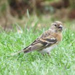 Brambling Forres 20 Apr 2013 Alison Ritchie