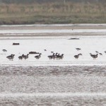 Brent Geese Findhorn Bay 16 Sept 2013 Richard Somers Cocks