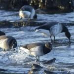 Brent Geese and Purple Sandpipers Nairn 16 Jan 2014 Seamus McArdle