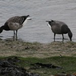 Brent Geese pale and dark Nairn 11 Jan 2015 Martin Cook