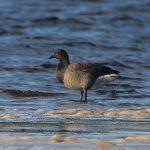 Brent Goose Findhorn Bay 24 Oct 2017 Richard Somers Cocks