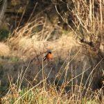 Bullfinch Loch Spynie 5 Jan 2017 Lisa Stewart