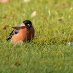 Bullfinch Nairn 5 Feb 2018 Seamus McArdle