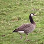 Canada x Greylag Goose Aitnoch 16 Apr 2015 Alison Ritchie