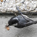 Coal Tit Forres 20 May 2018 Alison Ritchie