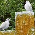 Collared Dove 22 Jun 2013 copy