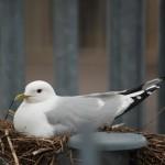 Common Gull Kinloss 7 June 2014 Allan Lawrence