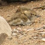 Common Sandpiper Balnught 16 Jun 2015 Alison Ritchie