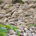 Common Sandpiper Findhorn Bay 14 May 2014 Richard Somers Cocks