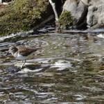 Common Sandpiper Glenlivet 18 Apr 2015 Tony Backx