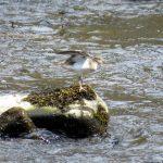 Common Sandpiper Glenlivet 2 May 2017 Alison Ritchie