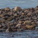 Common Sandpiper Tugnet 17 Apr 2015 David Main