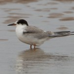 Common Tern Findhorn 31 Aug 2014 Richard Somers Cocks