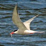 Common Tern Loch Spynie 19 Jun 2018 Jack Harrison