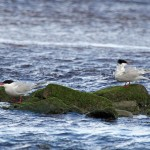 Common Terns Lossie estuary 22 May 2013 Gordon Biggs