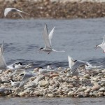 Common and Arctic Terns Tugnet 16 May 2014 Richard Somers Cocks