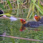 Coot Loch Spynie 26 Jun 2018 Jack Harrison 3