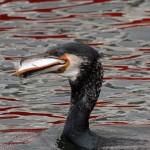 Cormorant Burghead 13 Mar 2014 Gordon Biggs 2