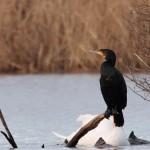 Cormorant P.c.sinesis Loch Spynie 4 Dec 2014 Dave Pullan