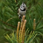 Crested Tit Lossie Forest 2 June 2013 David Main