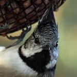 Crested Tit Lossie Forest Oct 2012 Gordon Biggs