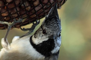 Crested Tit, Lossie Forest 16 October 2012 (Gordon Biggs)