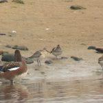 Curlew Sandpiper Lossie estuary 25 Sep 2017 Bob Proctor