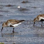 Dunlin Findhorn Bay 16 May 2017 Richard Somers Cocks