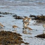 Dunlin Lossie estuary 1 Feb 2015 Gordon Biggs