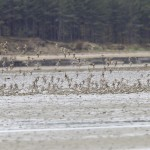 Dunlin and Ringed Plover Findhorn Bay 3 May 2013 Richard Somers Cocks