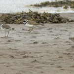 Dunlin and Ringed Plover Lossie estuary 4 May 2014 Seamus McArdle
